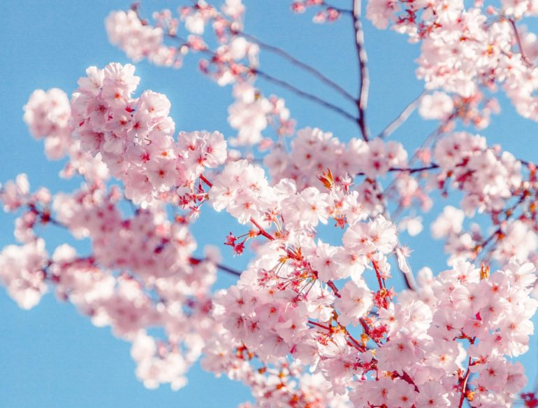 sakura-tree-2033997